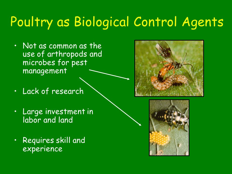 Poultry as Biological Control Agents Not as common as the use of arthropods and microbes for pest management Lack of research Large investment in labor and land Requires skill and experience