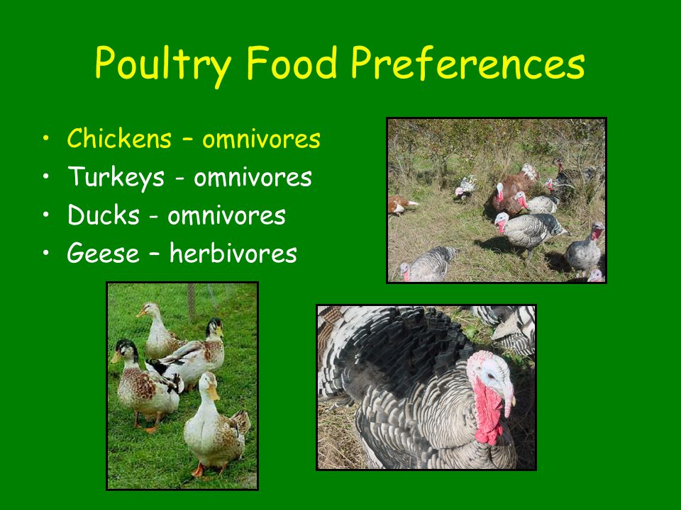 Poultry Food Preferences Chickens – omnivores Turkeys - omnivores Ducks - omnivores Geese – herbivores