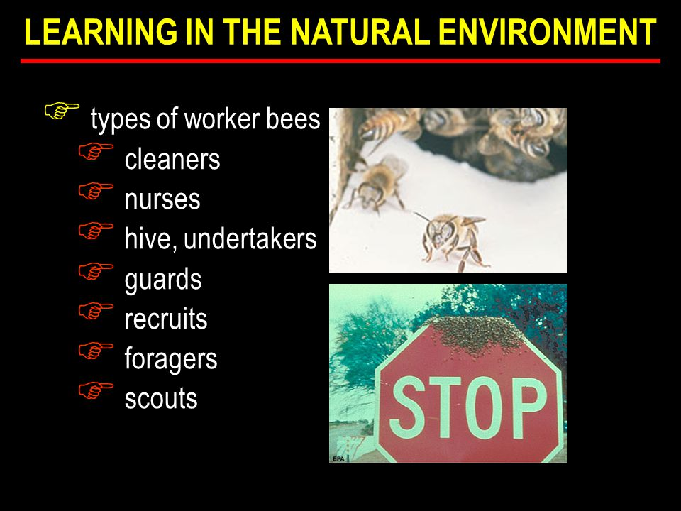 F types of worker bees F cleaners F nurses F hive, undertakers F guards F recruits F foragers F scouts LEARNING IN THE NATURAL ENVIRONMENT