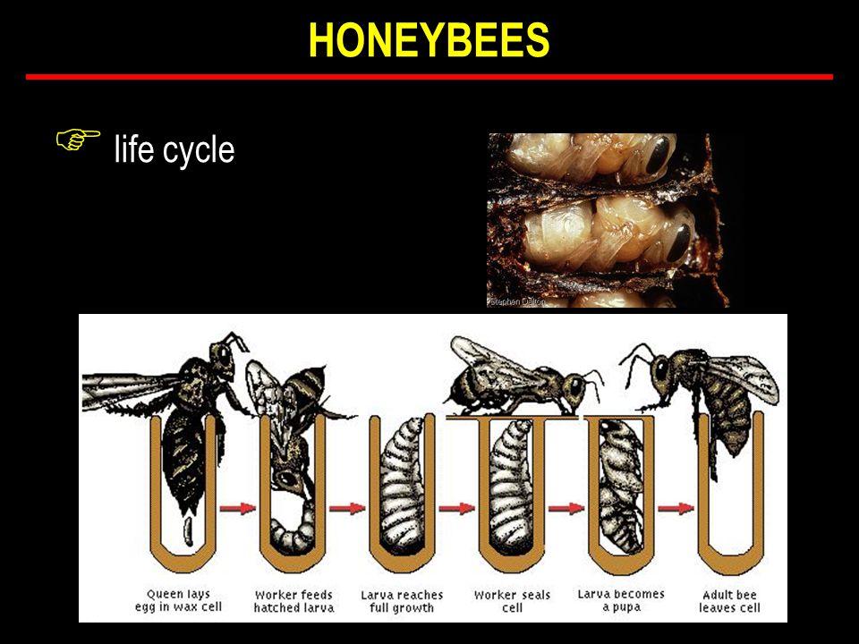 F life cycle HONEYBEES