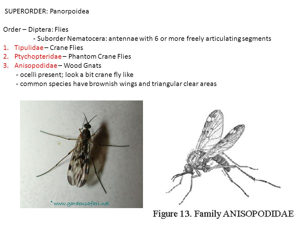 SUPERORDER: Panorpoidea Order – Diptera: Flies - Suborder Nematocera: antennae with 6 or more freely articulating segments 1.Tipulidae – Crane Flies 2.Ptychopteridae – Phantom Crane Flies 3.Anisopodidae – Wood Gnats - ocelli present; look a bit crane fly like - common species have brownish wings and triangular clear areas