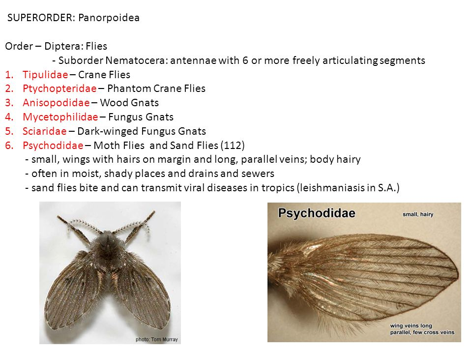 SUPERORDER: Panorpoidea Order – Diptera: Flies - Suborder Nematocera: antennae with 6 or more freely articulating segments 1.Tipulidae – Crane Flies 2.Ptychopteridae – Phantom Crane Flies 3.Anisopodidae – Wood Gnats 4.Mycetophilidae – Fungus Gnats 5.Sciaridae – Dark-winged Fungus Gnats 6.Psychodidae – Moth Flies and Sand Flies (112) - small, wings with hairs on margin and long, parallel veins; body hairy - often in moist, shady places and drains and sewers - sand flies bite and can transmit viral diseases in tropics (leishmaniasis in S.A.)