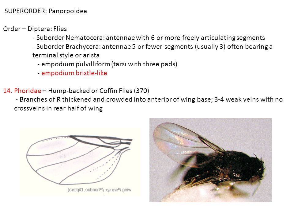 SUPERORDER: Panorpoidea Order – Diptera: Flies - Suborder Nematocera: antennae with 6 or more freely articulating segments - Suborder Brachycera: antennae 5 or fewer segments (usually 3) often bearing a terminal style or arista - empodium pulvilliform (tarsi with three pads) - empodium bristle-like 14.Phoridae – Hump-backed or Coffin Flies (370) - Branches of R thickened and crowded into anterior of wing base; 3-4 weak veins with no crossveins in rear half of wing
