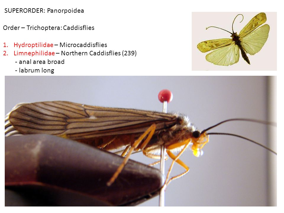 SUPERORDER: Panorpoidea Order – Trichoptera: Caddisflies 1.Hydroptilidae – Microcaddisflies 2.Limnephilidae – Northern Caddisflies (239) - anal area broad - labrum long