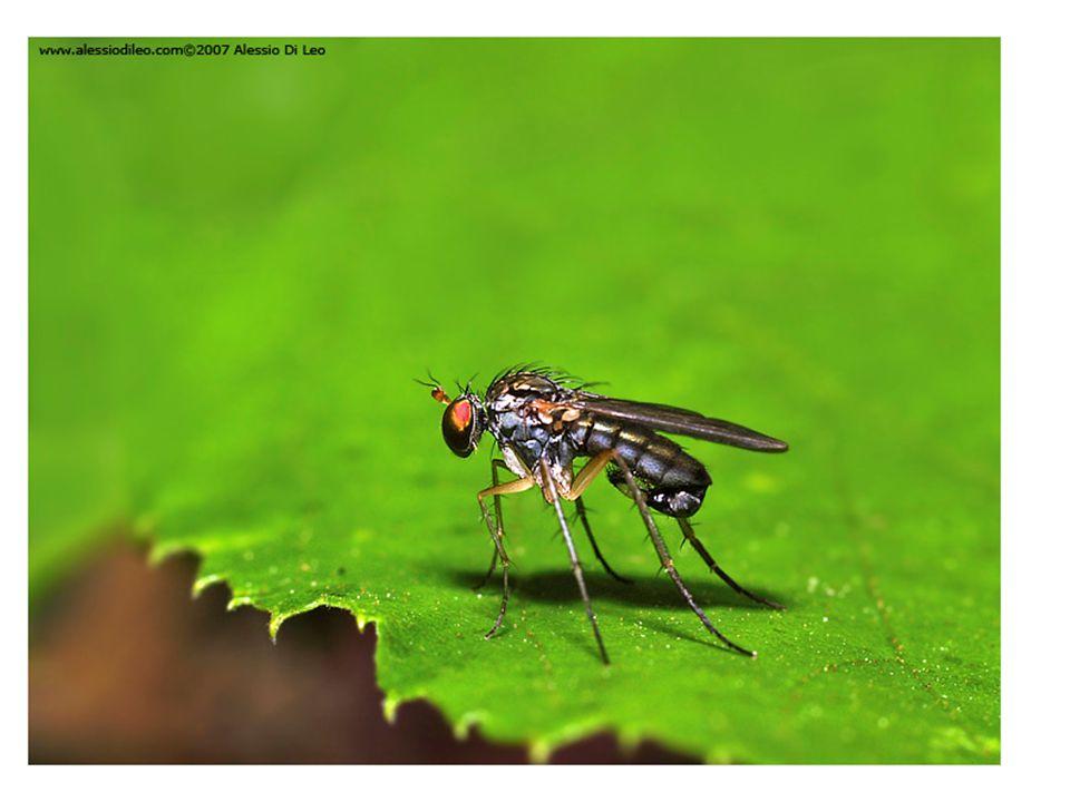SUPERORDER: Panorpoidea Order – Diptera: Flies - Suborder Nematocera: antennae with 6 or more freely articulating segments - Suborder Brachycera: antennae 5 or fewer segments (usually 3) often bearing a terminal style or arista - empodium pulvilliform (tarsi with three pads) - empodium bristle-like 19.Dolichopodidae – Long-legged Flies 20.Pipunculidae – Big-headed Flies (128) - not abundant, but easily identified