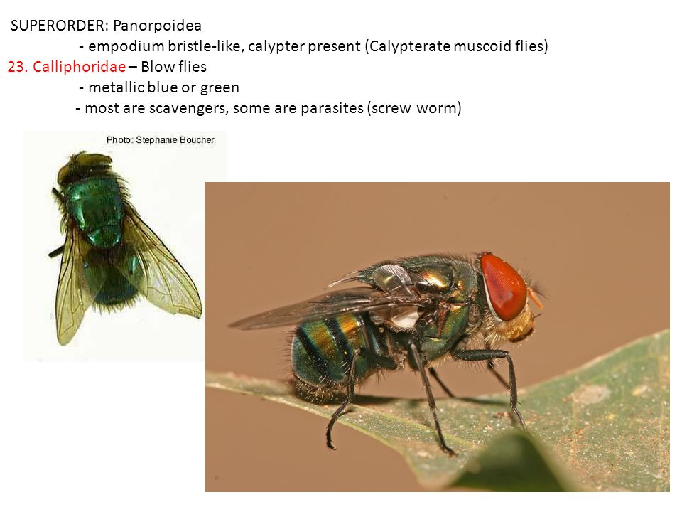 SUPERORDER: Panorpoidea - empodium bristle-like, calypter present (Calypterate muscoid flies) 23.