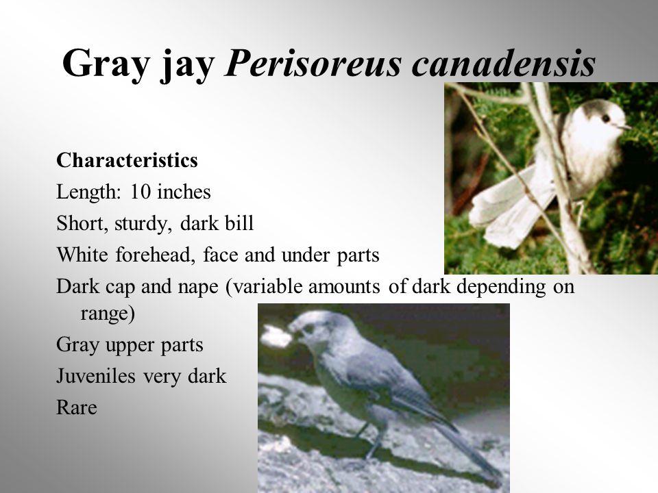 Gray jay Perisoreus canadensis Characteristics Length: 10 inches Short, sturdy, dark bill White forehead, face and under parts Dark cap and nape (variable amounts of dark depending on range) Gray upper parts Juveniles very dark Rare