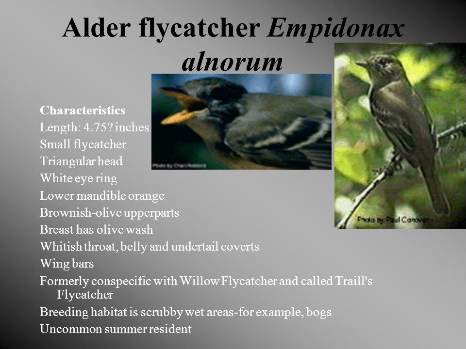Alder flycatcher Empidonax alnorum Characteristics Length: 4.75.