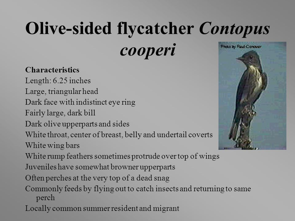 Olive-sided flycatcher Contopus cooperi Characteristics Length: 6.25 inches Large, triangular head Dark face with indistinct eye ring Fairly large, dark bill Dark olive upperparts and sides White throat, center of breast, belly and undertail coverts White wing bars White rump feathers sometimes protrude over top of wings Juveniles have somewhat browner upperparts Often perches at the very top of a dead snag Commonly feeds by flying out to catch insects and returning to same perch Locally common summer resident and migrant
