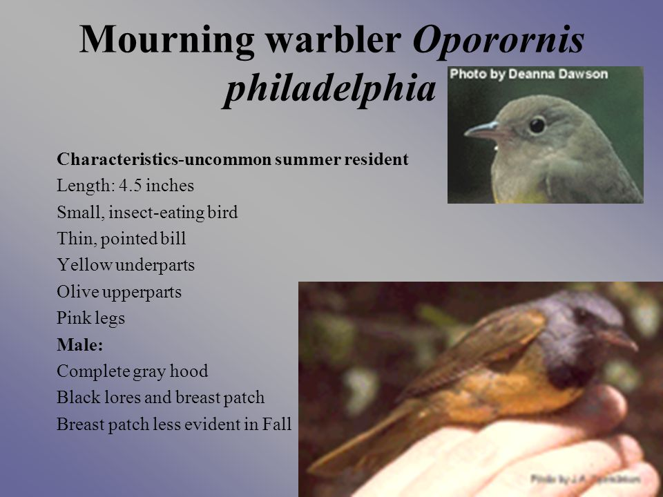 Mourning warbler Oporornis philadelphia Characteristics-uncommon summer resident Length: 4.5 inches Small, insect-eating bird Thin, pointed bill Yellow underparts Olive upperparts Pink legs Male: Complete gray hood Black lores and breast patch Breast patch less evident in Fall