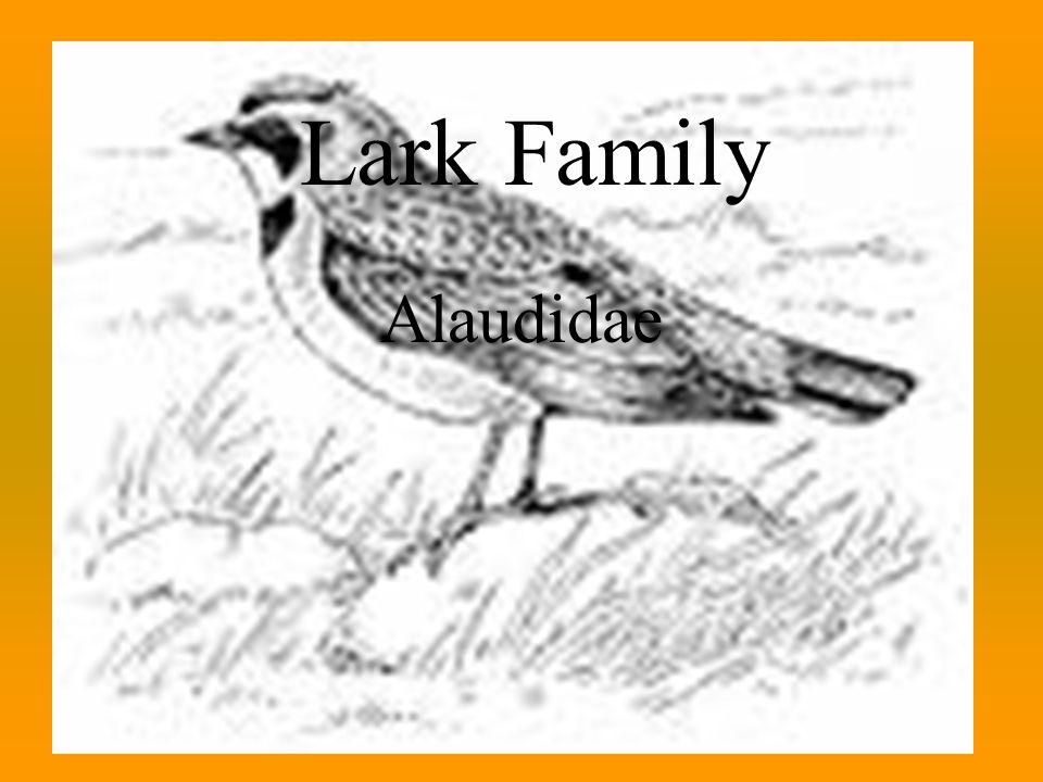 Lark Family Alaudidae Lark Family Alaudidae