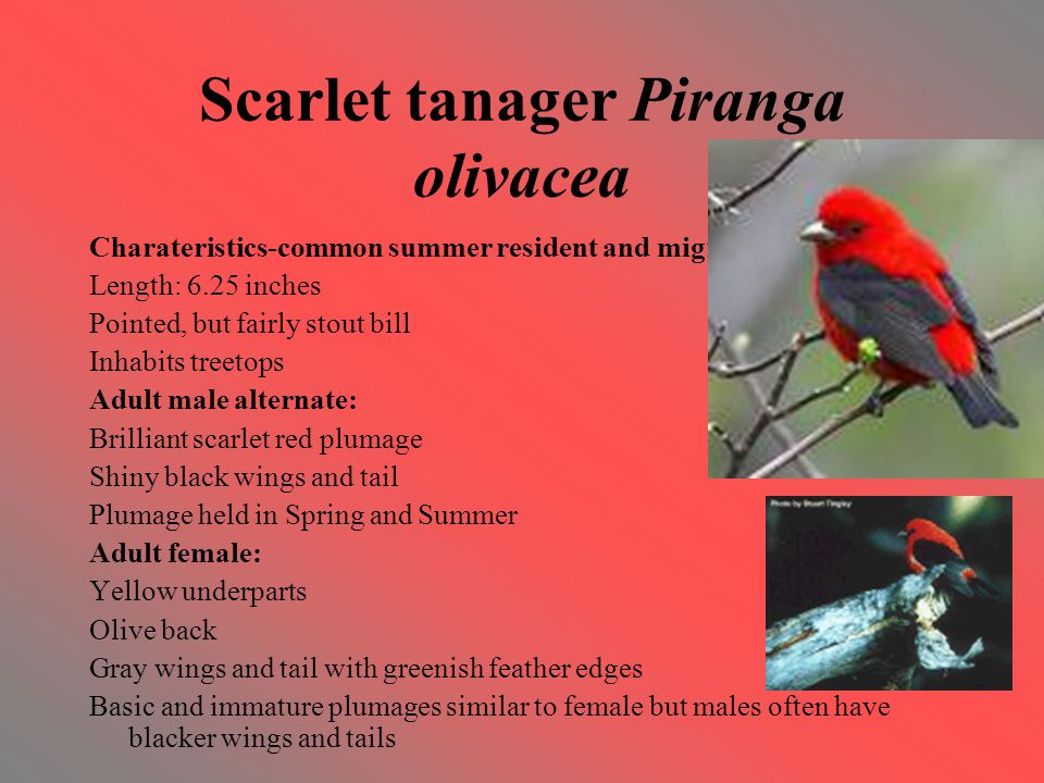 Scarlet tanager Piranga olivacea Charateristics-common summer resident and migrant Length: 6.25 inches Pointed, but fairly stout bill Inhabits treetops Adult male alternate: Brilliant scarlet red plumage Shiny black wings and tail Plumage held in Spring and Summer Adult female: Yellow underparts Olive back Gray wings and tail with greenish feather edges Basic and immature plumages similar to female but males often have blacker wings and tails