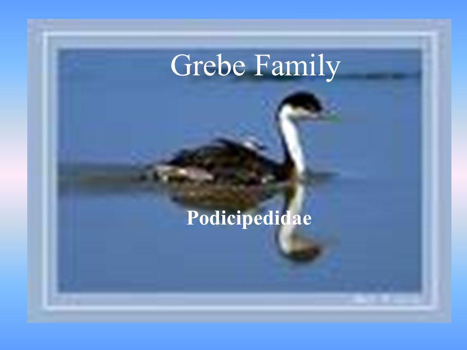 GREBE FAMILY Grebe Family Podicipedidae
