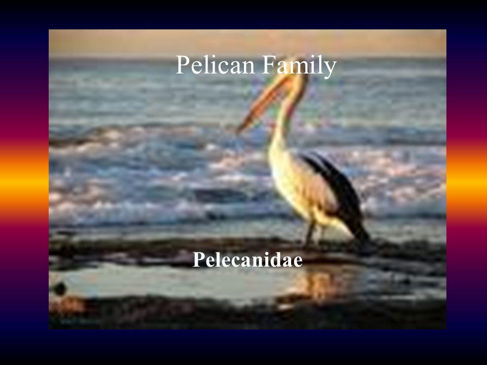 PELICAN FAMILY () Pelican Family Pelecanidae
