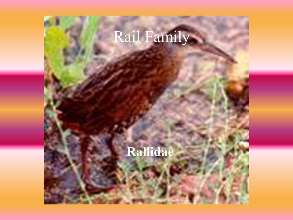 RAIL FAMILY ( Rail Family Rallidae