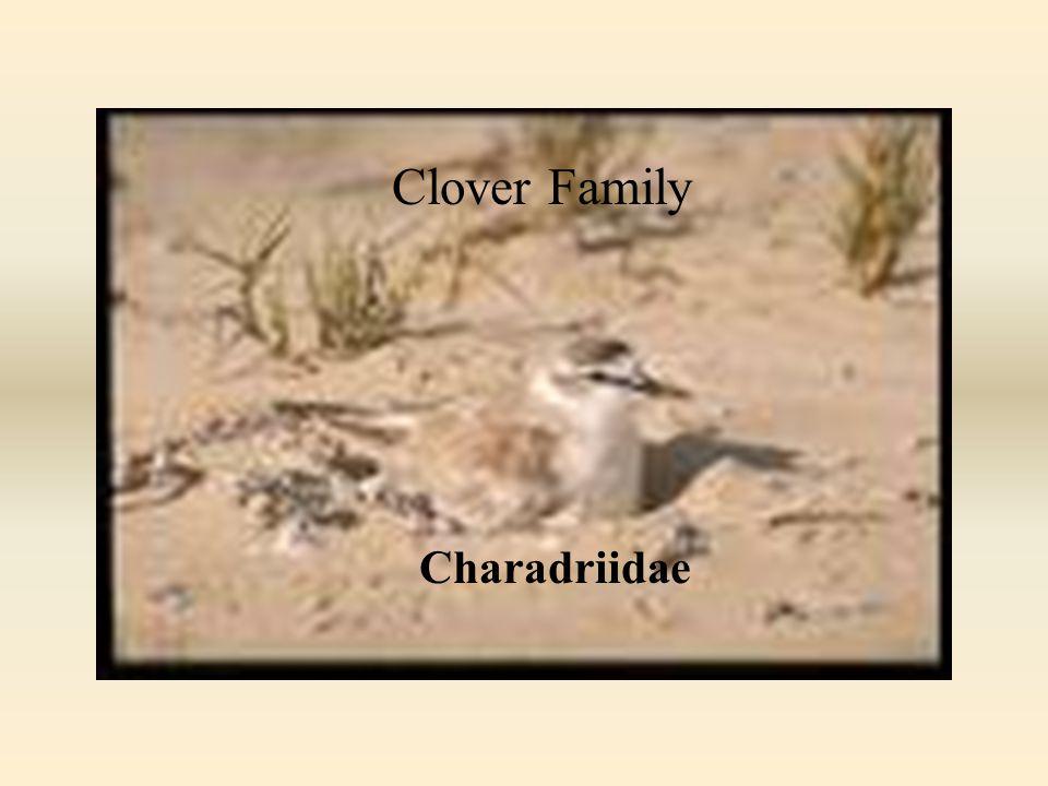 PLOVER FAMILY () Clover Family Charadriidae