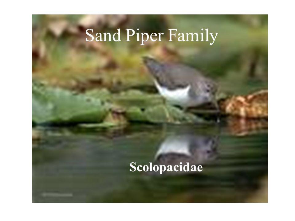 SANDPIPER FAMILY () Sand Piper Family Scolopacidae