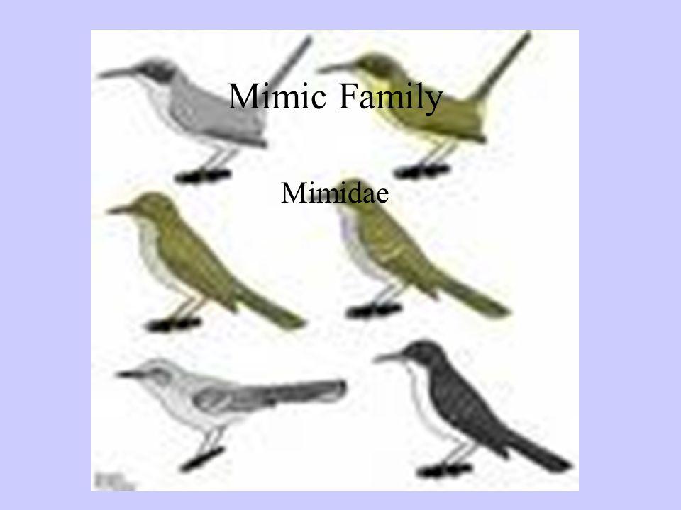 Mimic Thrush Family Mimidae Mimic Family Mimidae