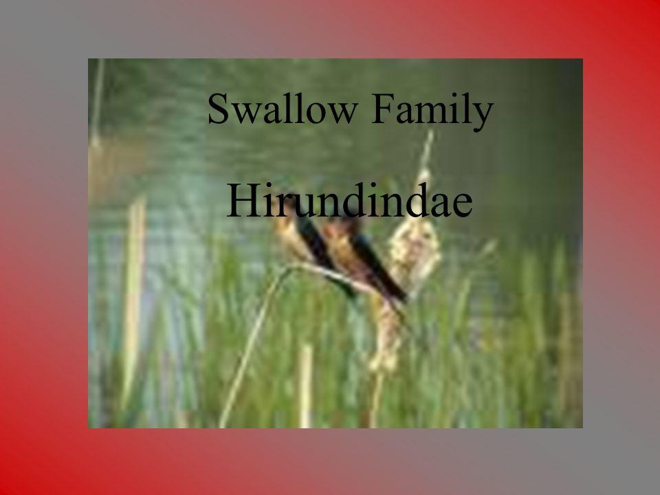 Swallow Family Swallow Family Hirundindae