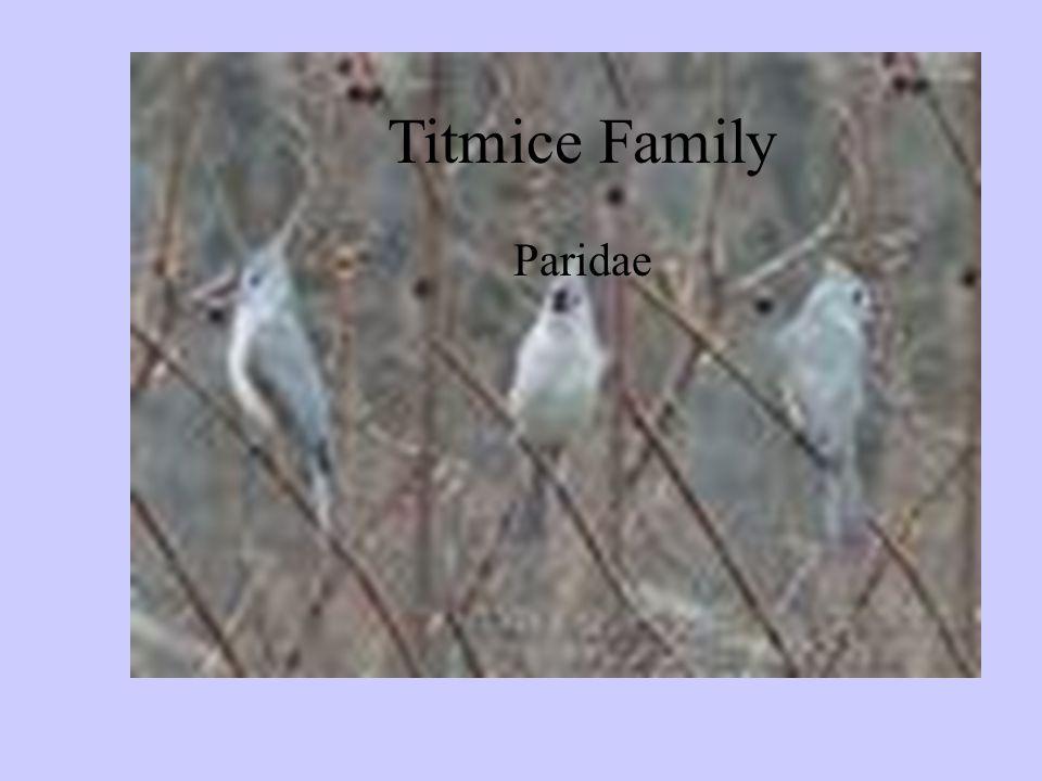 Titmice Family Paridae Titmice Family Paridae