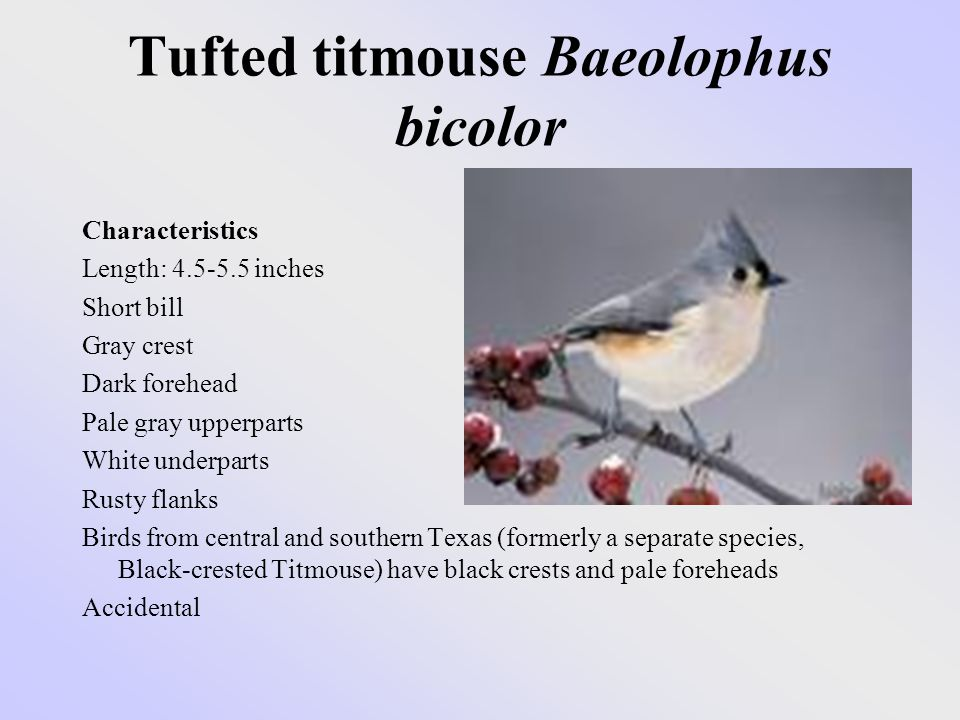 Tufted titmouse Baeolophus bicolor Characteristics Length: 4.5-5.5 inches Short bill Gray crest Dark forehead Pale gray upperparts White underparts Rusty flanks Birds from central and southern Texas (formerly a separate species, Black-crested Titmouse) have black crests and pale foreheads Accidental