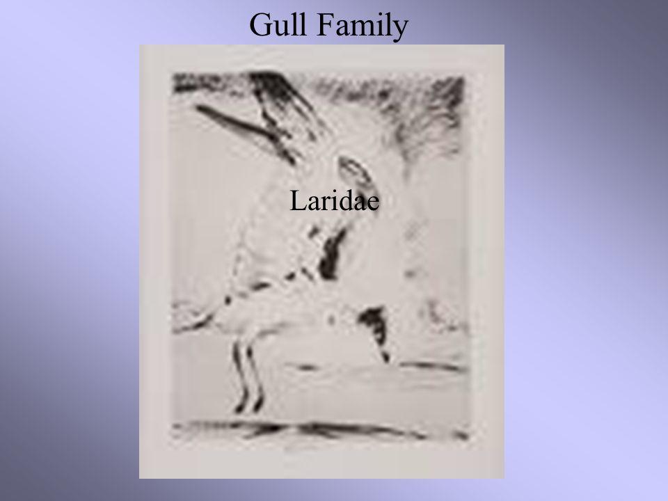 Gull Family Laridae Gull Family Laridae
