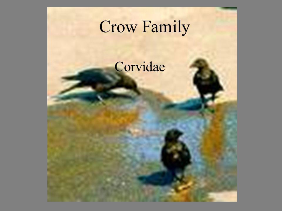 Crow Family Corvide Crow Family Corvidae