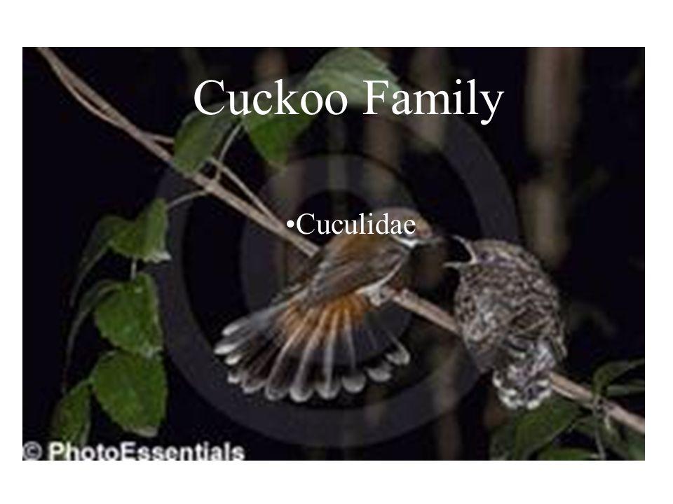 CuckooFamily Cuculidae Cuckoo Family Cuculidae
