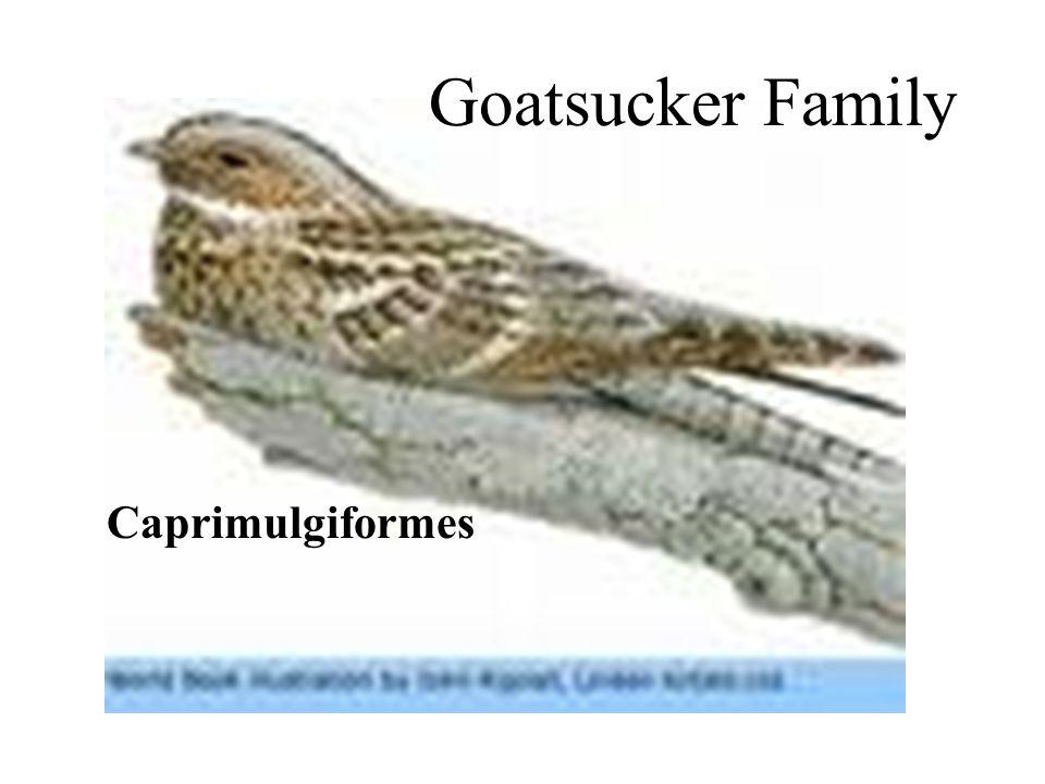Goatsucker Family Caprimulgiformes Goatsucker Family Caprimulgiformes