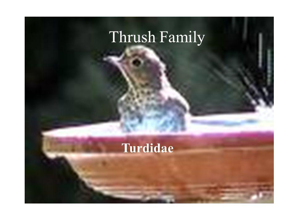 Thrush Family Turdidae Thrush Family Turdidae