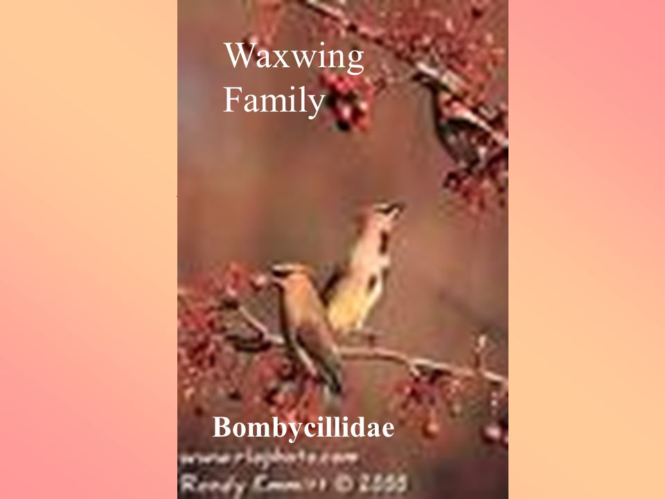 Waxwings Family Bombycillidae Waxwing Family Bombycillidae