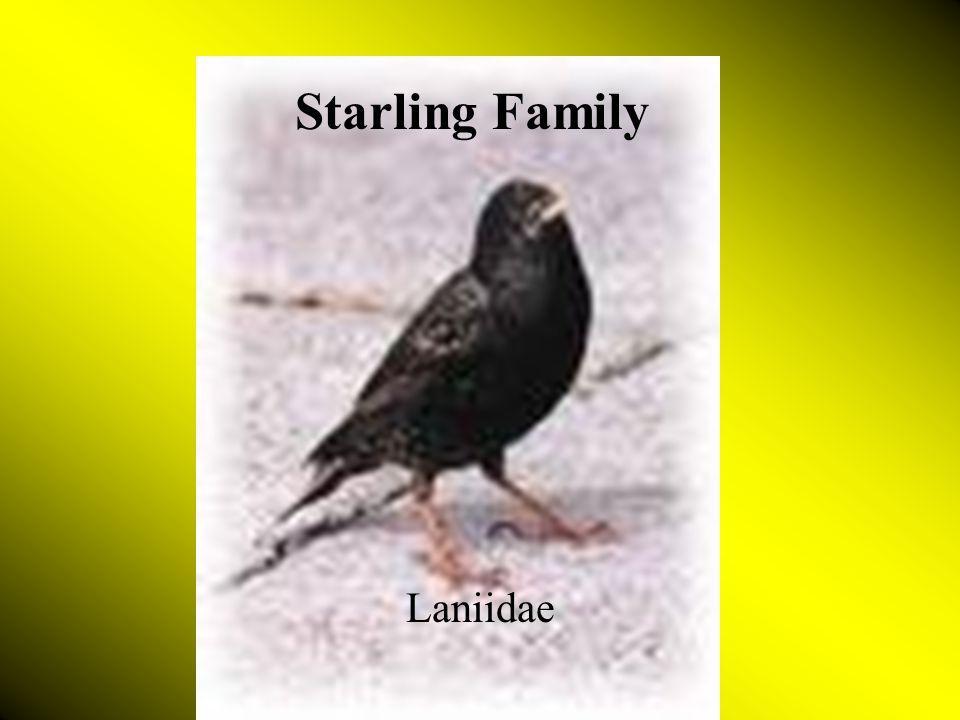 Starling Family Laniidae Starling Family Laniidae