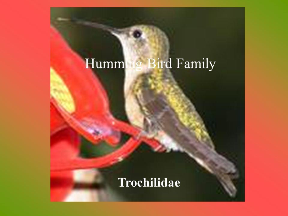 Hummingbirds Family Trochilidae Humming Bird Family Trochilidae