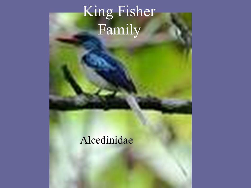 King Fisher Family Alcedinidae King Fisher Family Alcedinidae