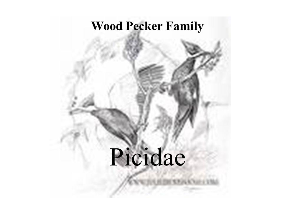 Wood Pecker Family Picidae