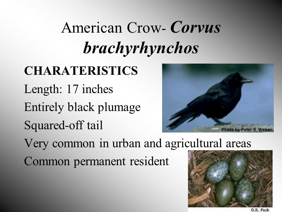 American Crow - Corvus brachyrhynchos CHARATERISTICS Length: 17 inches Entirely black plumage Squared-off tail Very common in urban and agricultural areas Common permanent resident