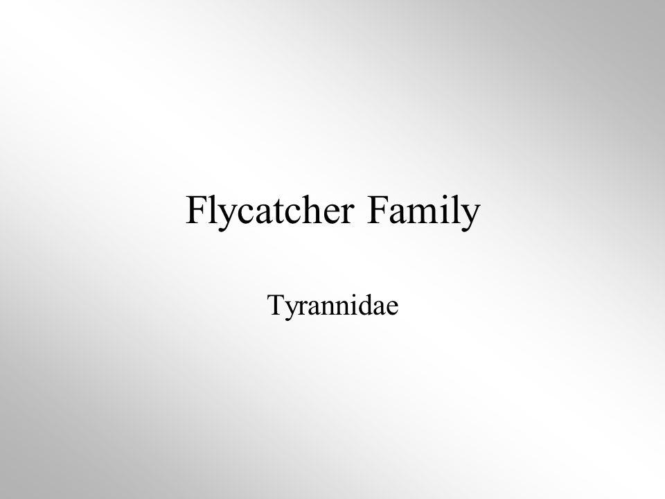 Flycatcher Family Tyrannidae