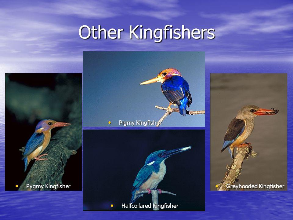 Other Kingfishers Halfcollared Kingfisher Halfcollared Kingfisher Pygmy Kingfisher Pygmy Kingfisher Pigmy Kingfisher Pigmy Kingfisher Greyhooded Kingfisher Greyhooded Kingfisher