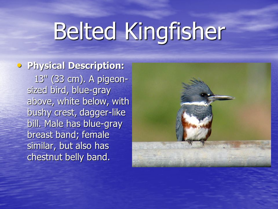 Belted Kingfisher Physical Description: Physical Description: 13 (33 cm).