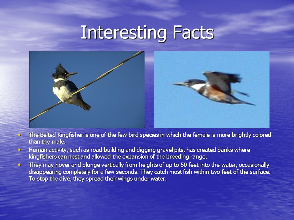 Interesting Facts The Belted Kingfisher is one of the few bird species in which the female is more brightly colored than the male.