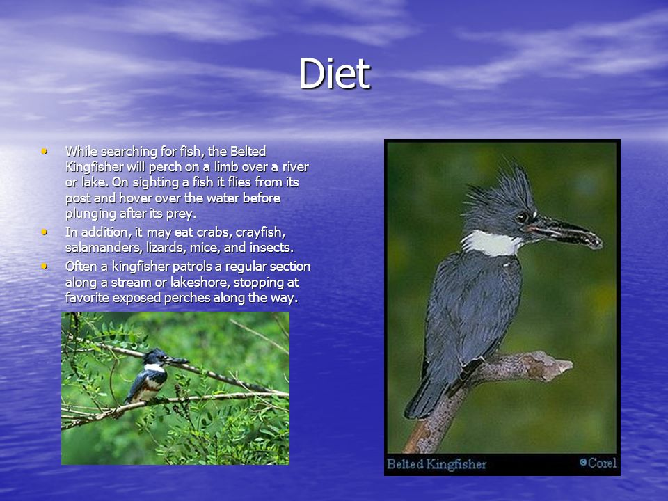 Diet While searching for fish, the Belted Kingfisher will perch on a limb over a river or lake. On sighting a fish it flies from its post and hover ov