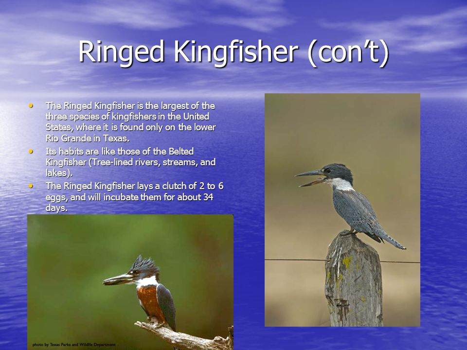 Ringed Kingfisher (con't) The Ringed Kingfisher is the largest of the three species of kingfishers in the United States, where it is found only on the