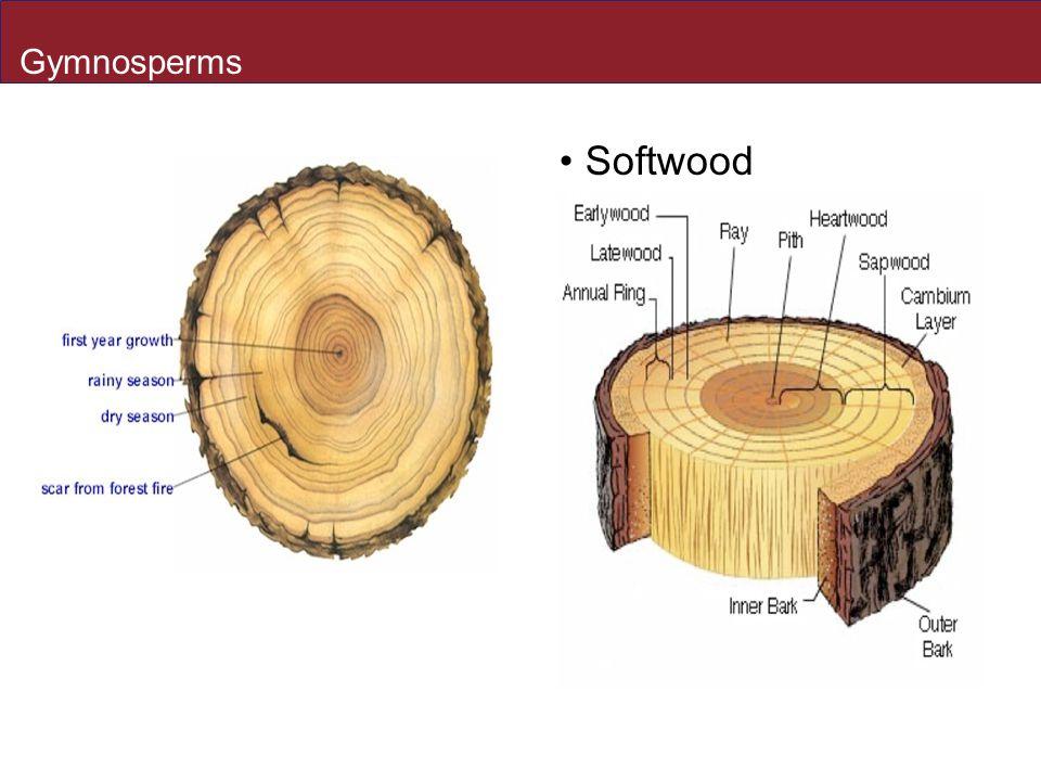 Gymnosperms Softwood