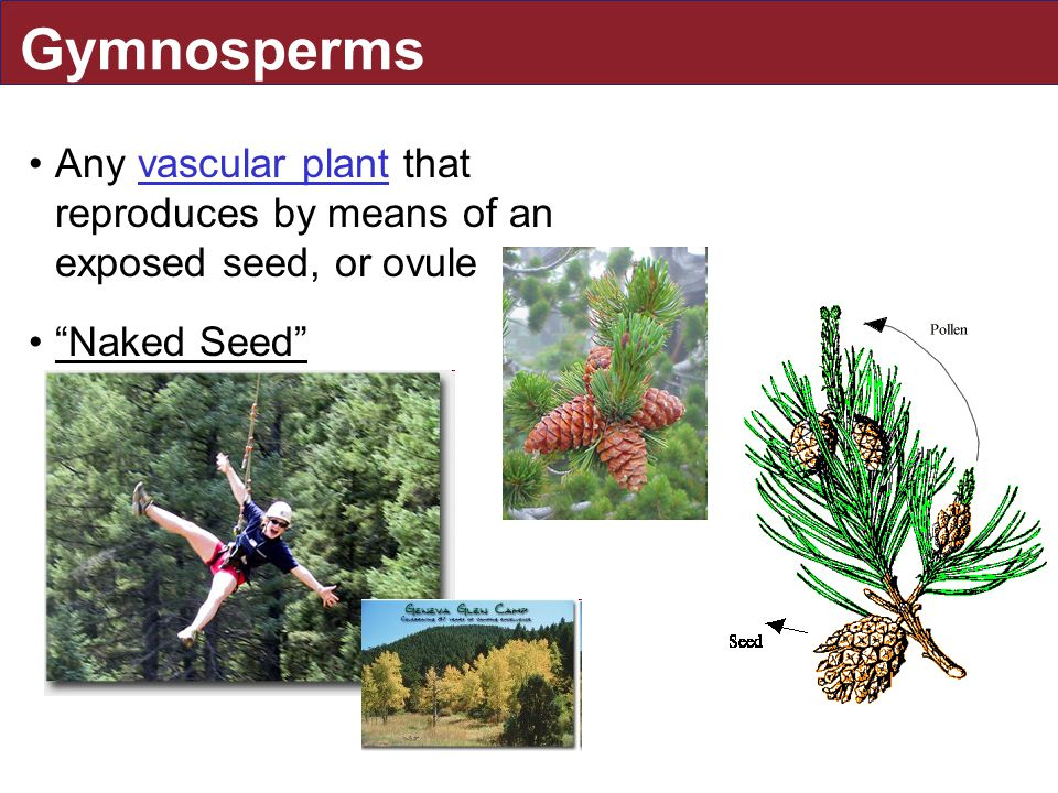 Gymnosperms Any vascular plant that reproduces by means of an exposed seed, or ovulevascular plant Naked Seed