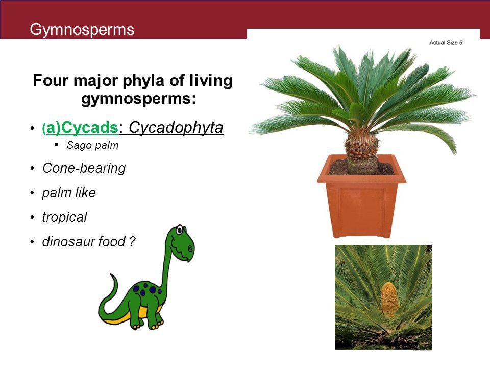 Gymnosperms Four major phyla of living gymnosperms: ( a)Cycads: Cycadophyta  Sago palm Cone-bearing palm like tropical dinosaur food ?
