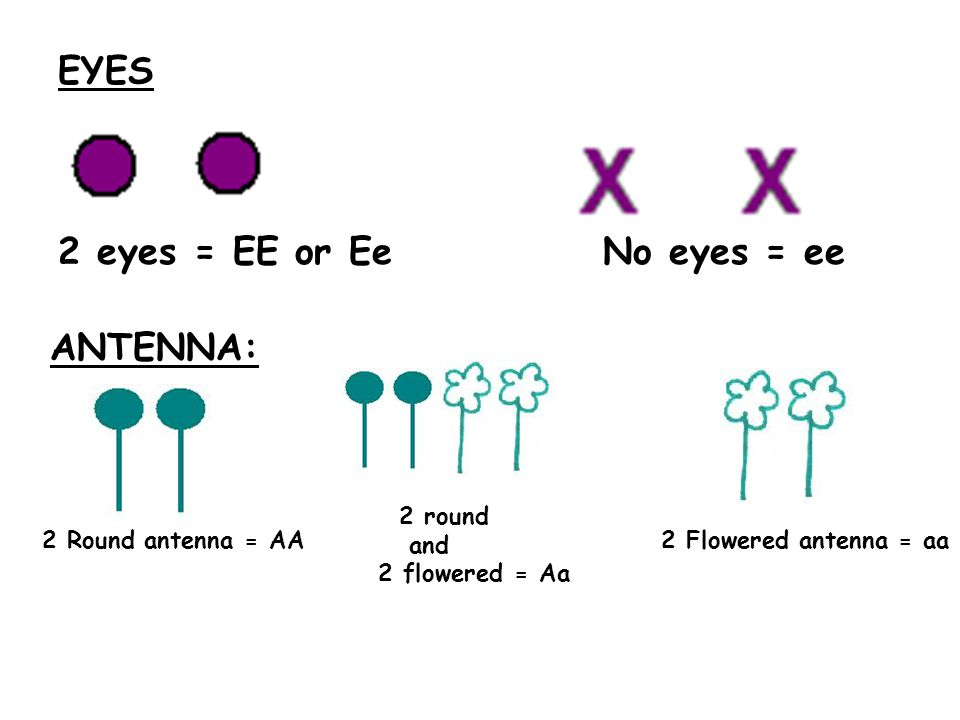 EYES 2 eyes = EE or Ee No eyes = ee ANTENNA: 2 Round antenna = AA 2 round and 2 flowered = Aa 2 Flowered antenna = aa