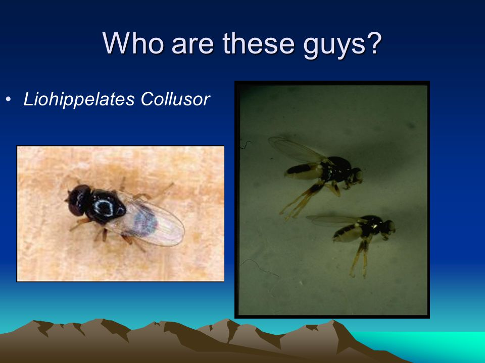 Who are these guys? Liohippelates Collusor