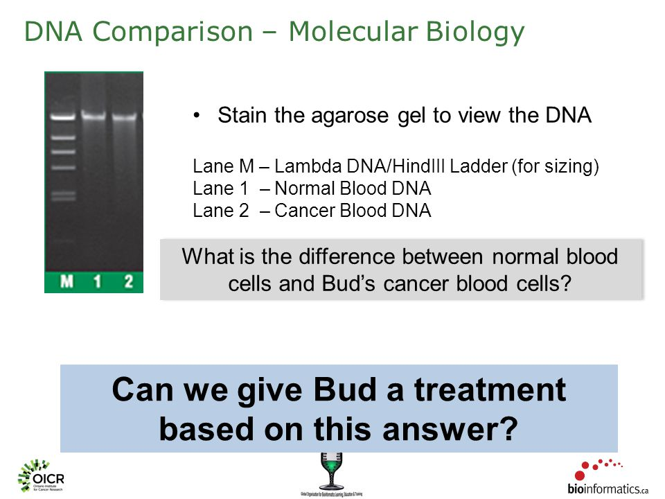DNA Comparison – Molecular Biology Stain the agarose gel to view the DNA Lane M – Lambda DNA/HindIII Ladder (for sizing) Lane 1 – Normal Blood DNA Lane 2 – Cancer Blood DNA What is the difference between normal blood cells and Bud's cancer blood cells.