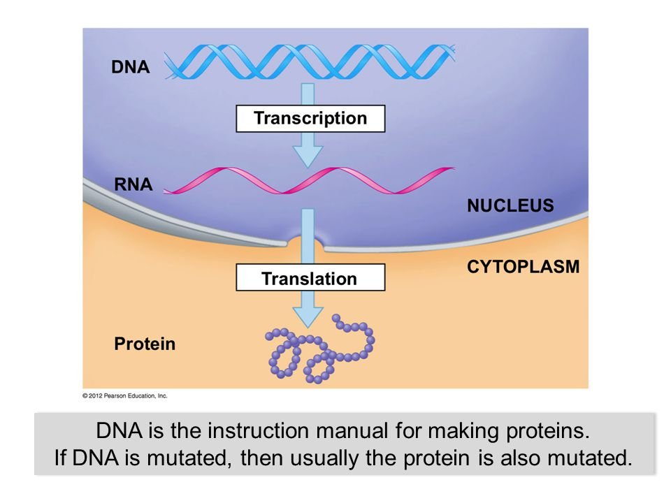 DNA is the instruction manual for making proteins.