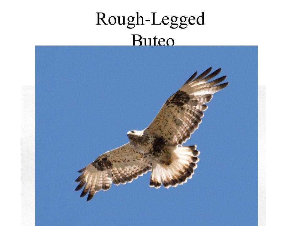 Rough-Legged Buteo
